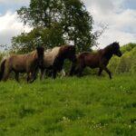 Pferdeferien in den Birken